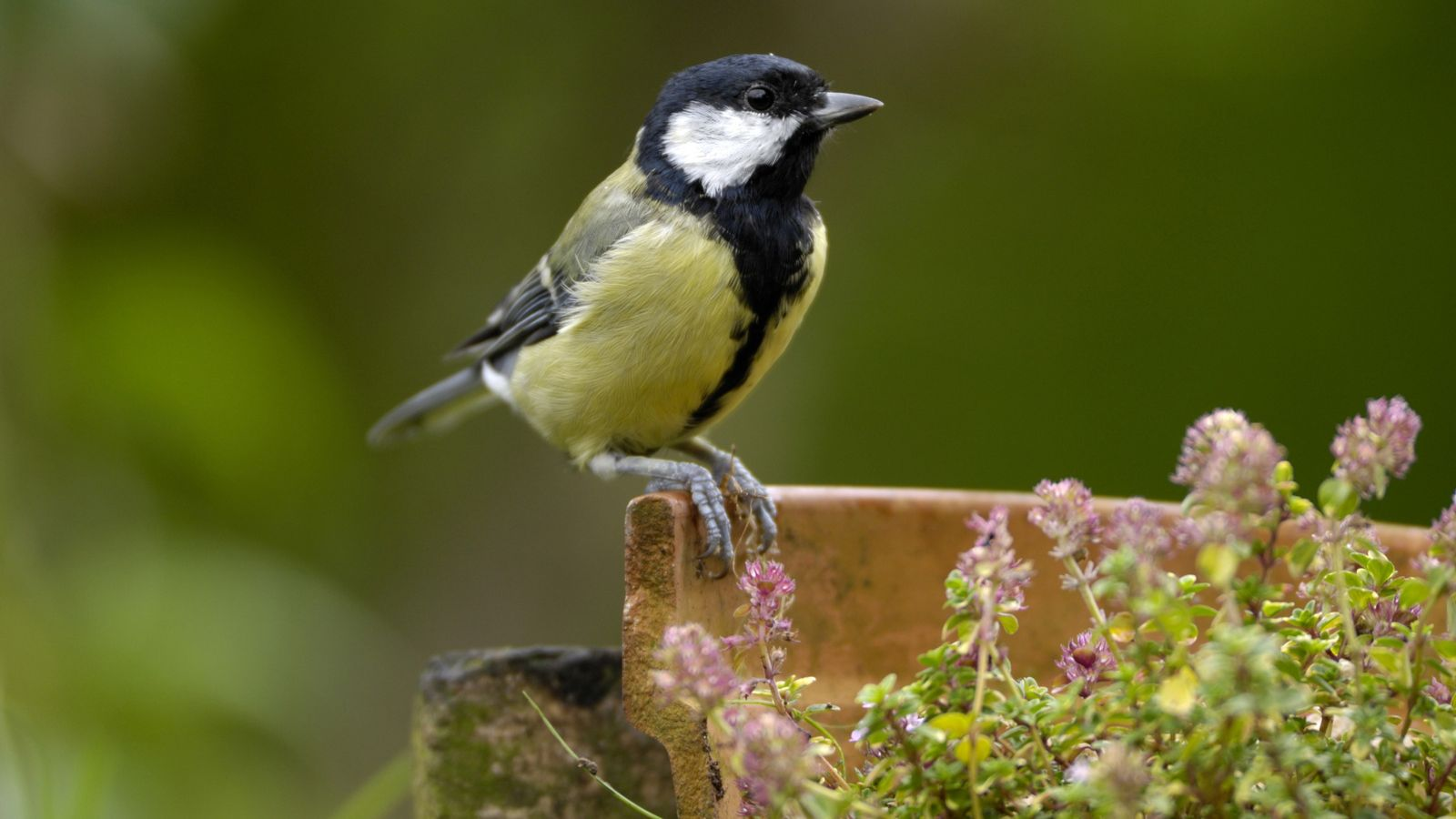 The great tit is actually a woodland bird that has successfully adapted to man-made habitats and ...