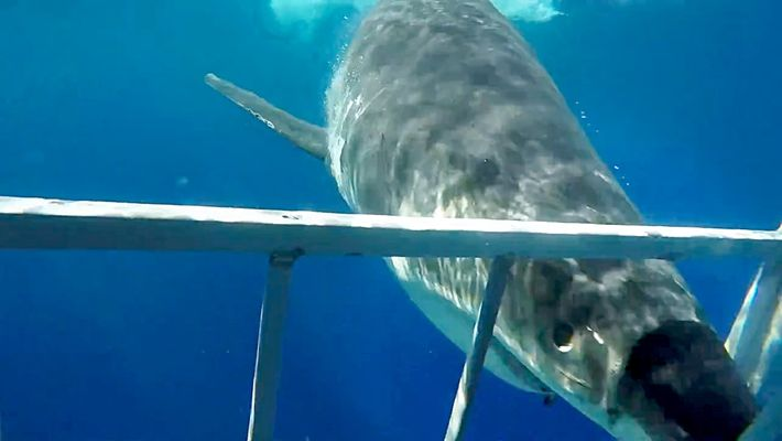 Great White Shark Collides With Diving Cage