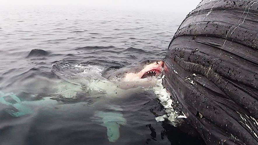 Great White Shark Feasts on Dead Whale