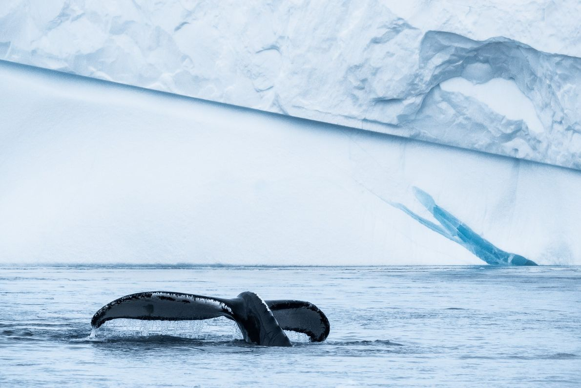 """Stian Klo: """"A curious humpback put on quite the show for us in the Ilulissat Icefjord. ..."""