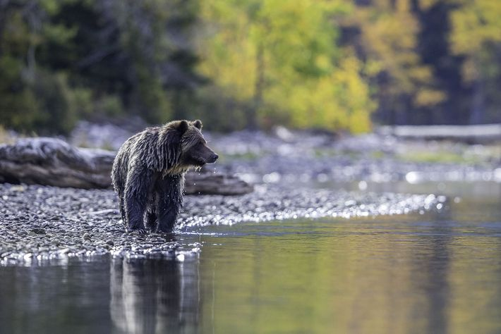 Grizzly bear fishing in Chilko River.