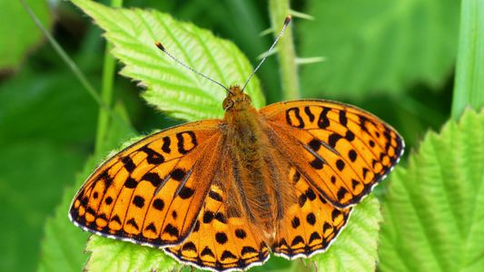 Last Gasp Efforts to Save UK's Rarest Butterfly
