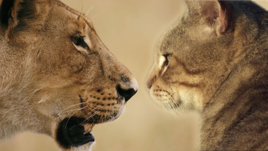 Home Cat / Wild Cat