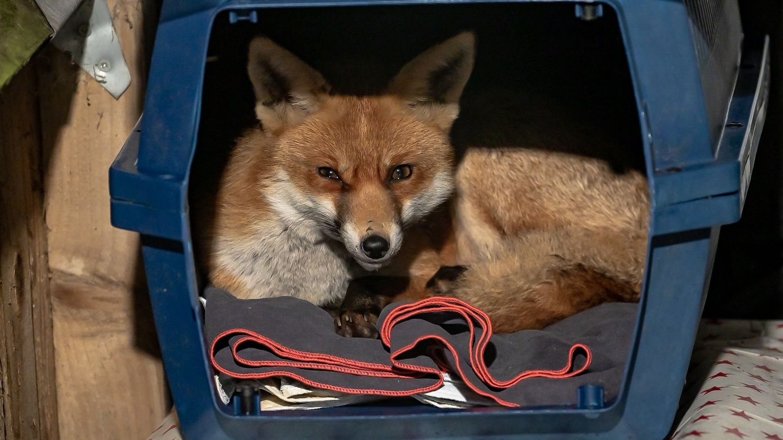 This urban fox had taken to using a garden pet carrier as a bed.