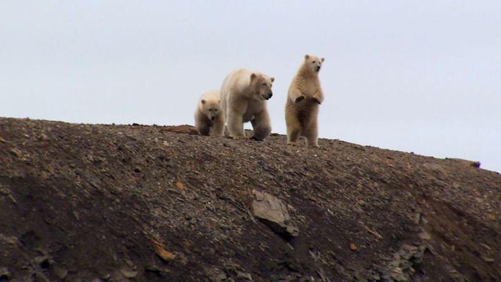 The Hungry Polar Bear