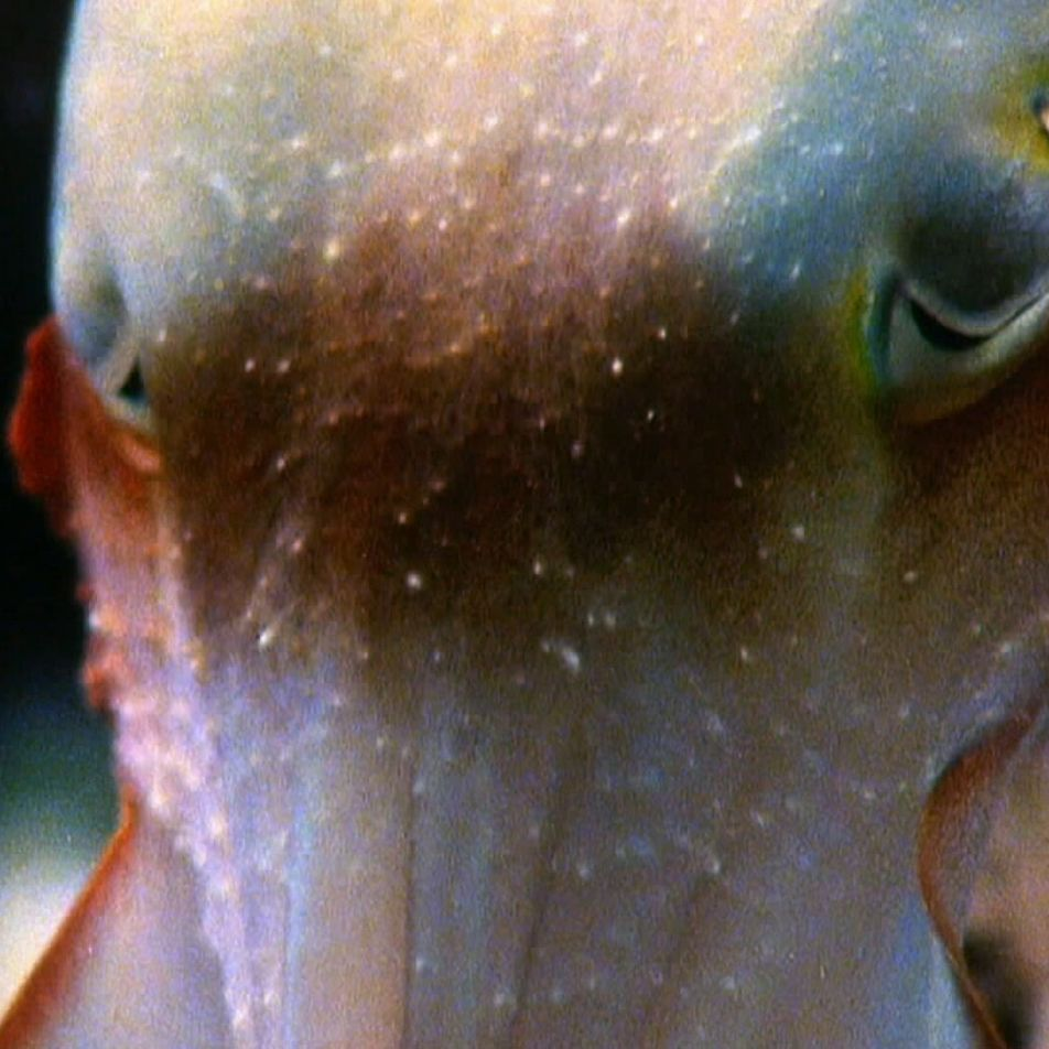Watch a cuttlefish launch a hypnosis attack
