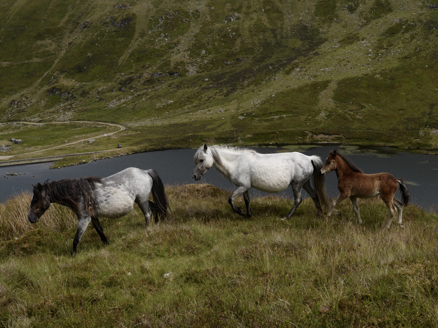 The Wild Horses of Wales