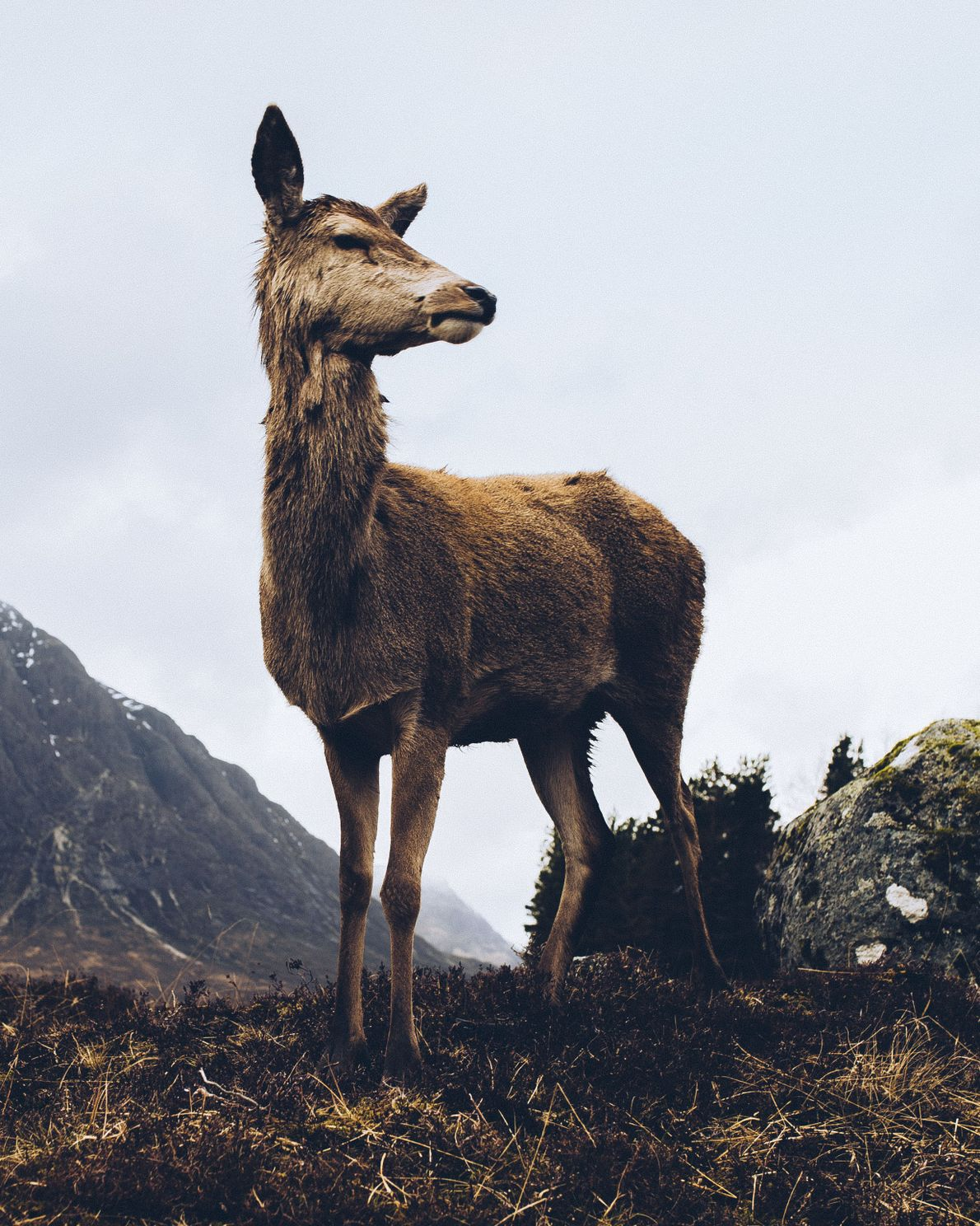 """Daniel Alford: """"the red deer of the glen often visit the Kings House Hotel, they are ..."""
