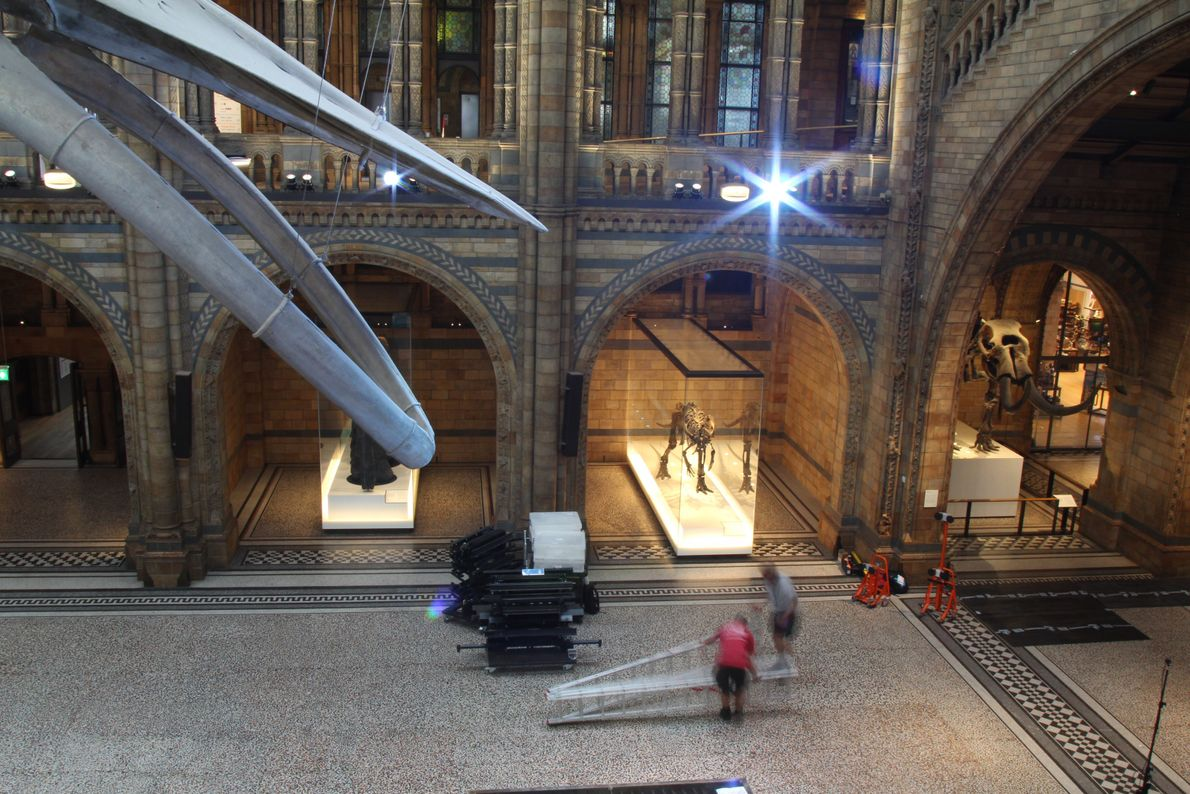 Night falls in the Natural History Museum's Hintze Hall, and Mantellisaurus awaits disassembly.