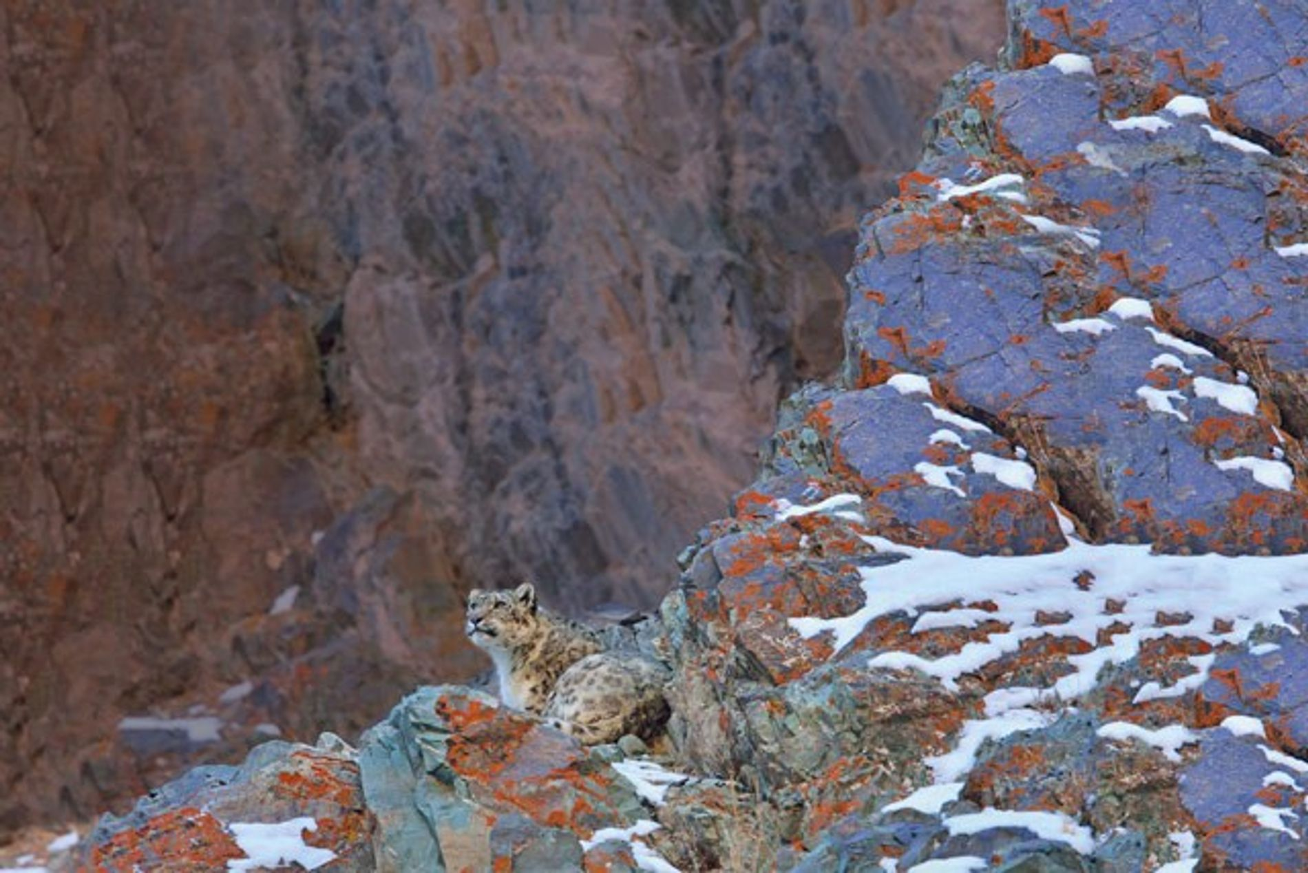 Searching for snow leopards in India
