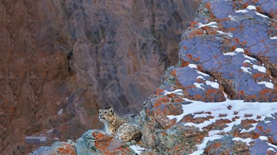 Snow leopard resting on a lichen covered rock in Hemis National Park, Ladakh.
