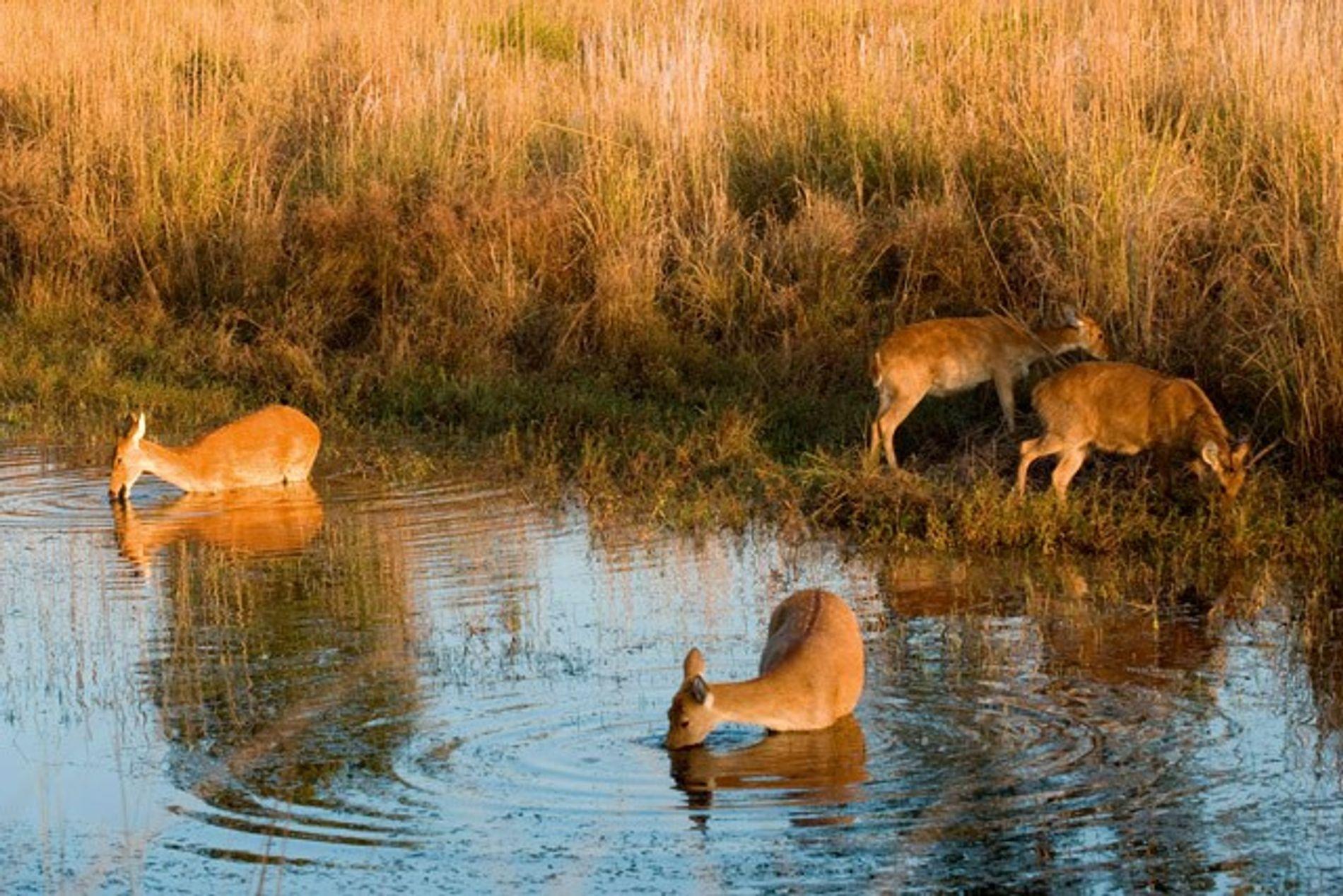 India: Meeting Kanha's barasingha deer