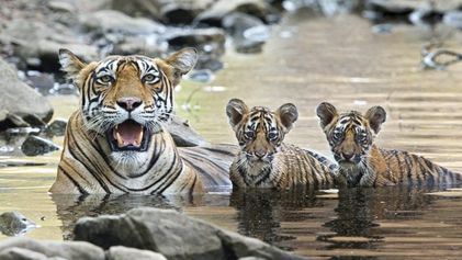 India: In search of Bengal tigers