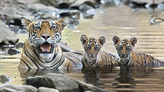 Bengal tiger with cubs at Ranthambore National Park.