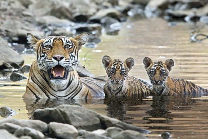 Bengal tiger with cubs at Ranthambore National Park.