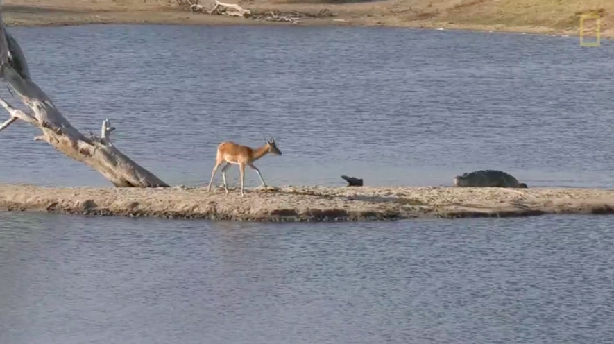 Watch: Impala Faces Crocodile, Hippo in Impossible Standoff