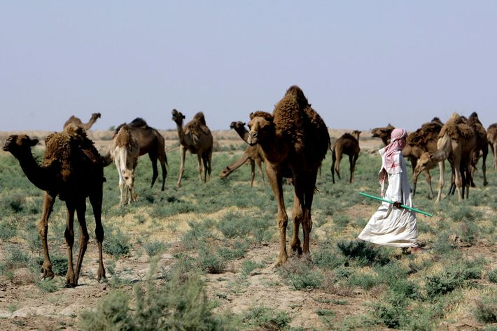 An Iraqi shepherd leads his camels in search of water in the Kut Desert, about 120 ...