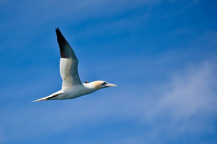 Gannet, Alderney