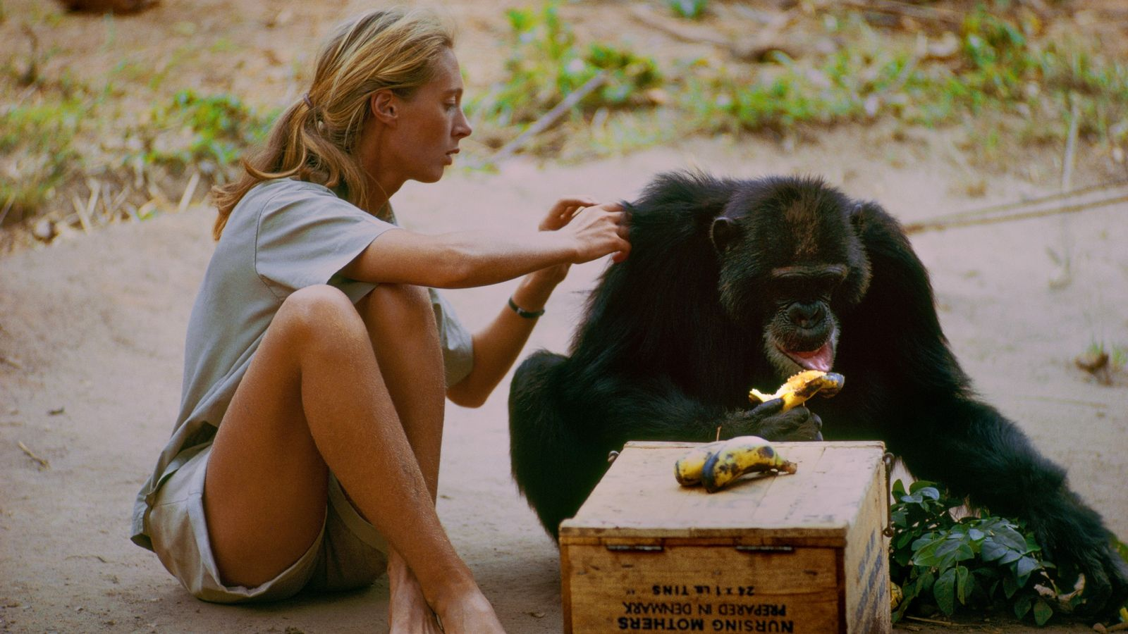 David Greybeard was the first chimp to lose his fear of Jane, eventually coming to her ...