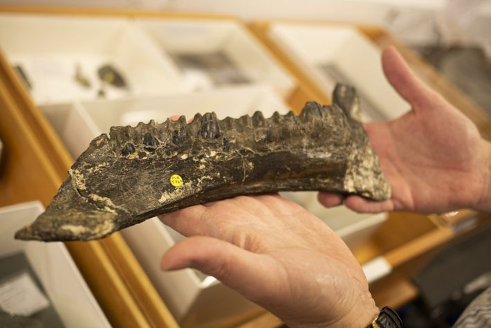 The real Mantellisaurus jawbone, complete with teeth arranged in a 'dental battery.'