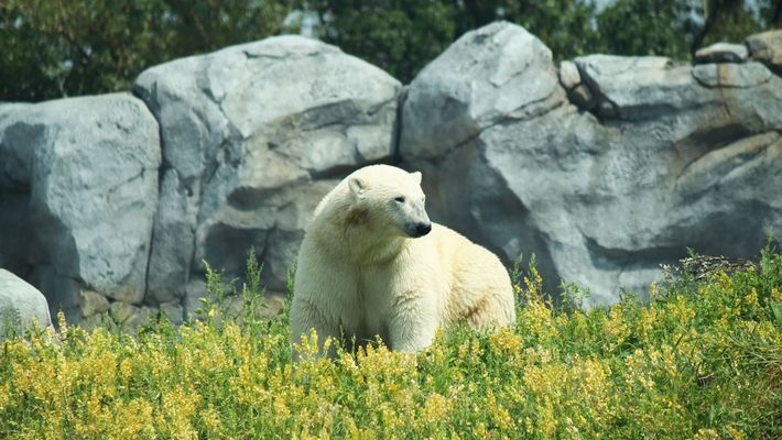 A polar bear at Assiniboine Park Zoo