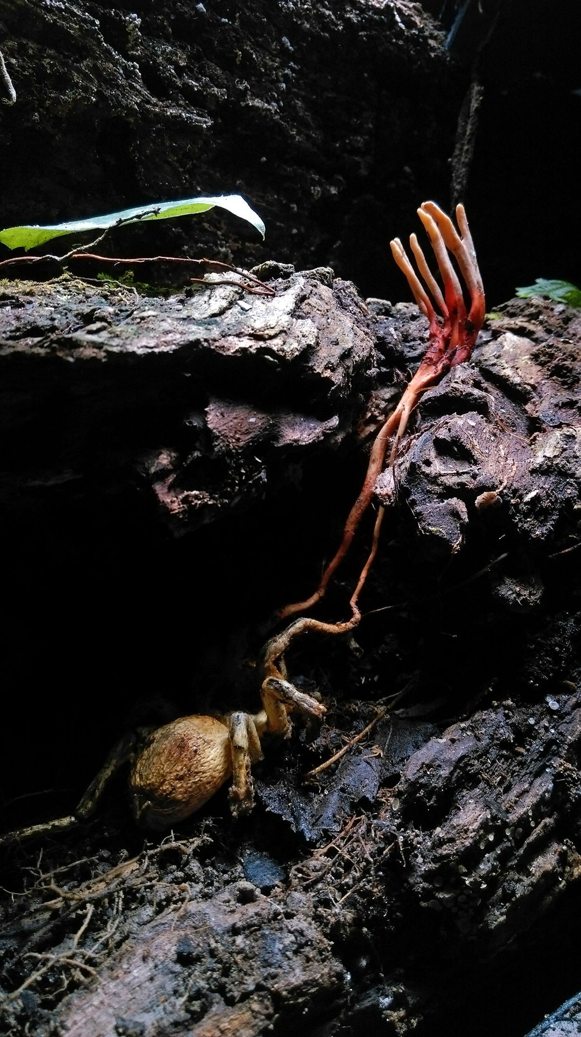 Rio Claro Reserve, Colombia - Cordyceps, a parasitic fungi, grow from out of a tarantula.