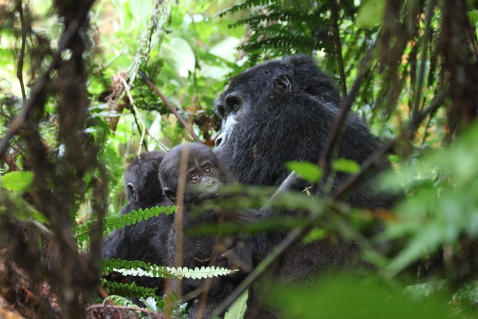 The mountain gorillas are gentle giants, accepting of people and curious.
