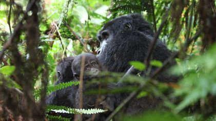 Mountain gorillas endangered by human diseases