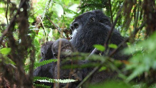 Mountain gorillas endangered by human diseases