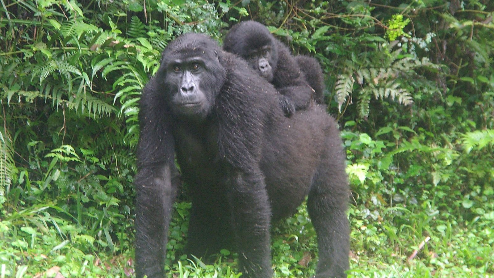 A gorilla called Karungyi, with its baby, in Uganda.