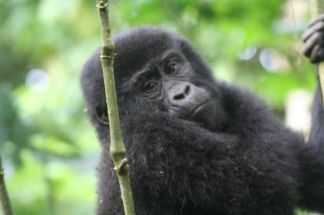 Gorillas share 98.4% of the same DNA as humans.