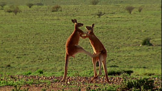This is a kangaroo boxing fight! A martial arts match