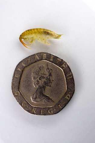 While diminutive, the killer shrimp (Dikerogammarus villosus) lives up to its name.