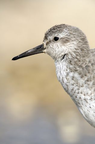 Knot, 'Calidris canutus', on the artificial lagoon; high tide wader roost at Freiston Shore RSPB reserve, ...