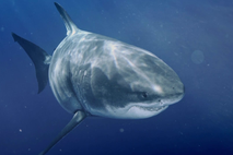 Largest_White_Shark_UK~~~~~uk~mux~~1.png