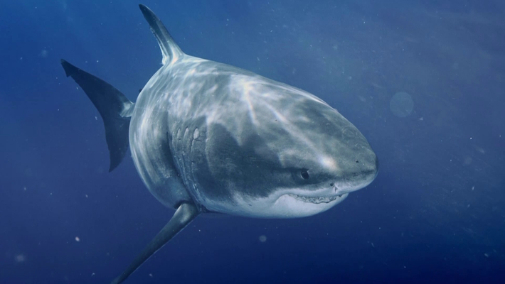 The largest Great White Shark in the World | Most Wanted Sharks