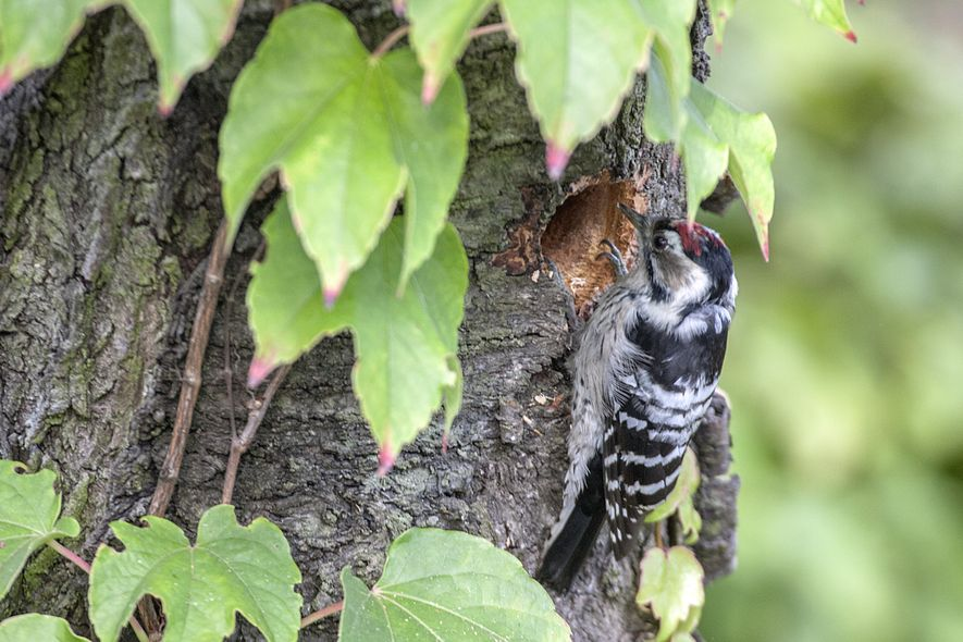 The male lesser spotted woodpecker sports a red 'skullcap'.