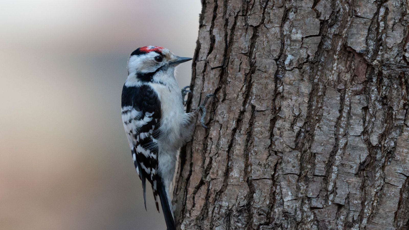 The lesser spotted woodpecker – contrary to the great spotted woodpecker – is a delicate bird barely ...