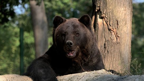 Max the bear at Libearty Bear Sanctuary, Romania.