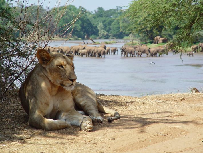 A lion rests by a watering hole. Shivani Bhalla realised that lions in northern Kenya were ...