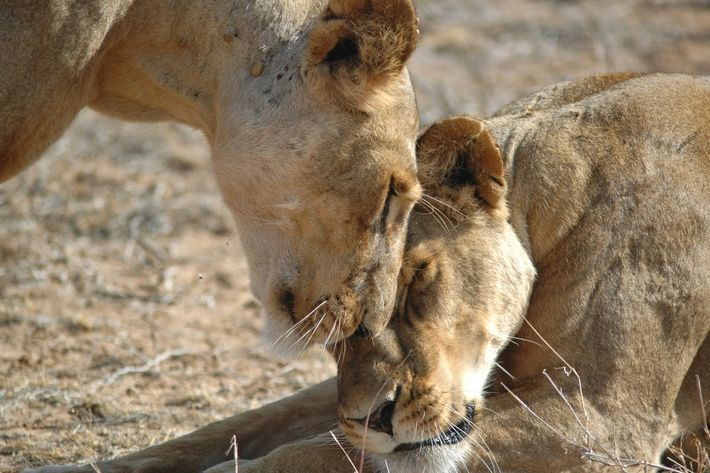 It's not lions but humans that pose danger, says Shivani. These two lions are in the ...