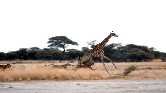 Lions vs Giraffe