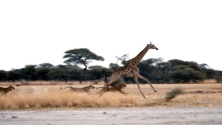 Will this Girafe escape?