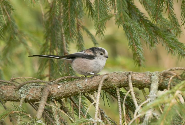 Long tailed tit sitting on a tree branch.