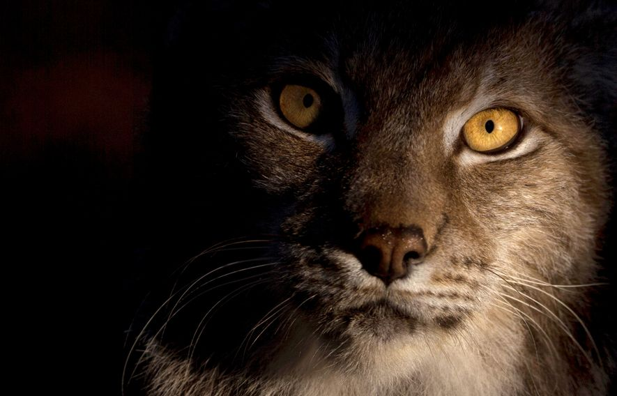 A Eurasian lynx in dawn light. The species was hunted to extinction in the UK. Now ...