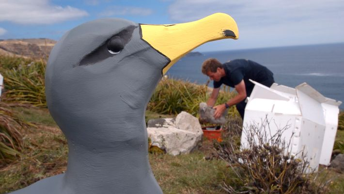 This Plan to Save a Rare Albatross From Extinction Just Might Work