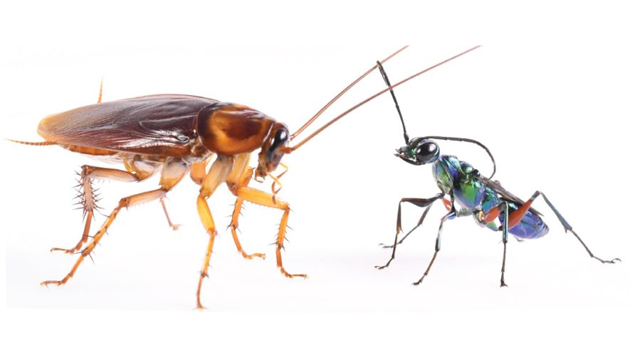 How cockroaches use karate kicks to avoid becoming zombies