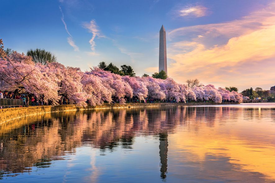 Cherry blossoms burst forth in pink every spring around the Tidal Basin in Washington, D.C.