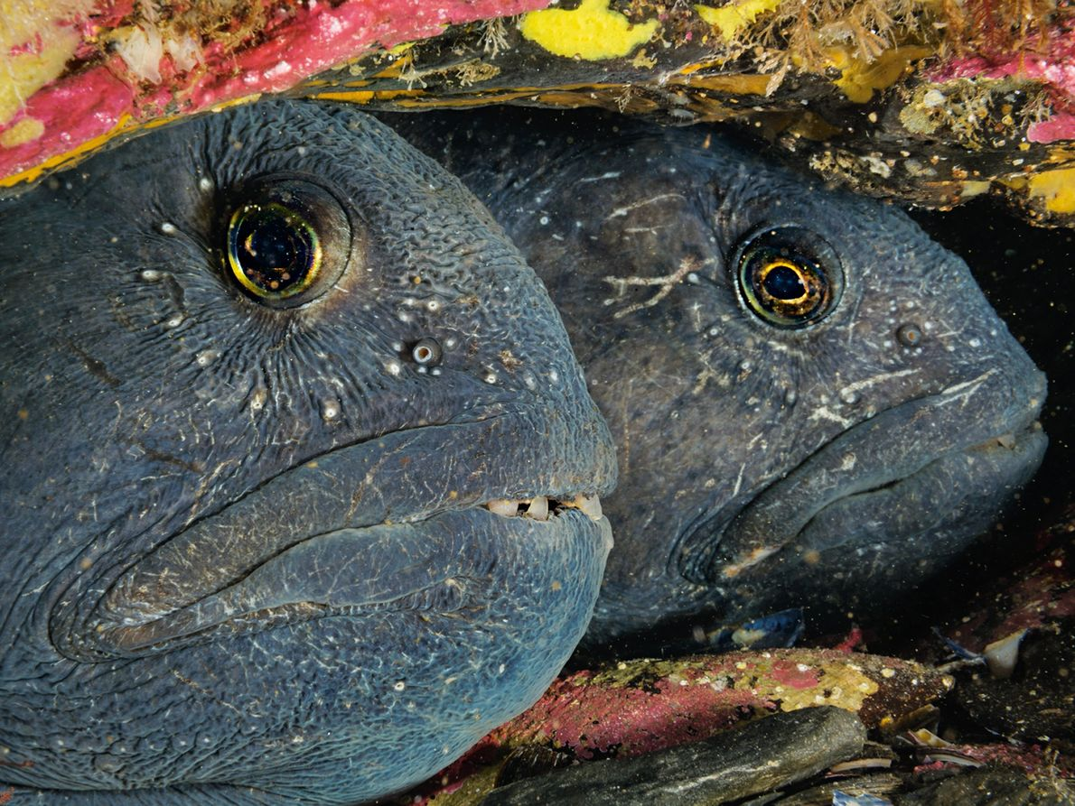A pair of Atlantic wolffish—named for their fangs—cozy up in a den in Bonne Bay. The ...