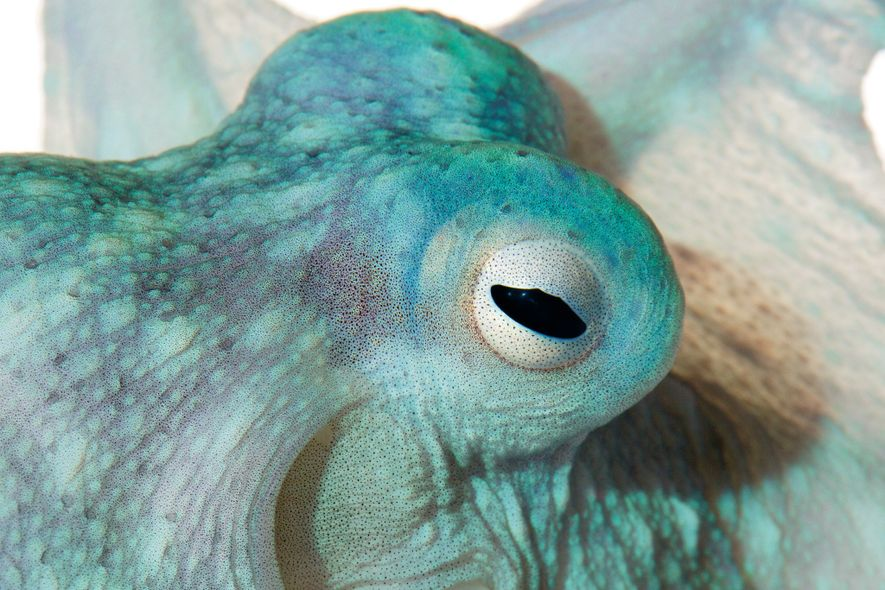 The speckles on this Capricorn night octopus, Callistoctopus alpheus, are cells full of pigment. If the ...